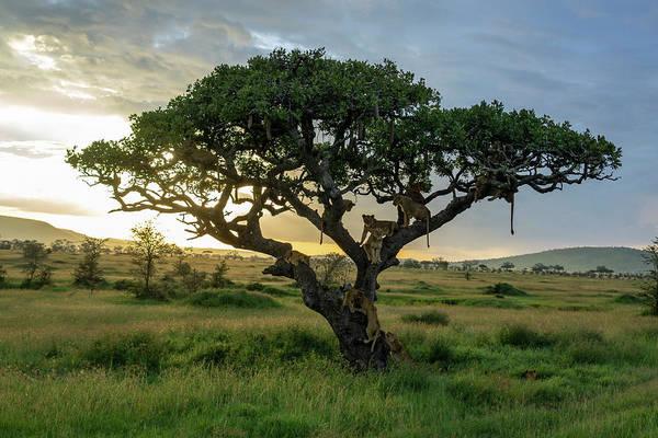 Wall Art - Photograph - Lions Panthera Leo On Tree At Sunset by Raffi Maghdessian