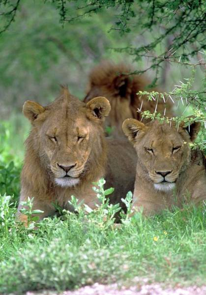 Felidae Wall Art - Photograph - Lions Relaxing by Tony Camacho/science Photo Library