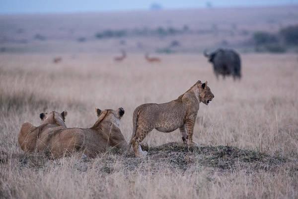 Watching Photograph - Lions Watching Buffalo, Masai Mara by John Brown