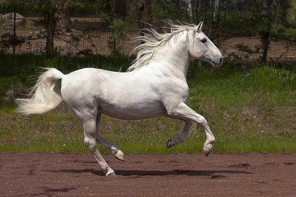 Photograph - Lipizzan At Liberty by Wes and Dotty Weber