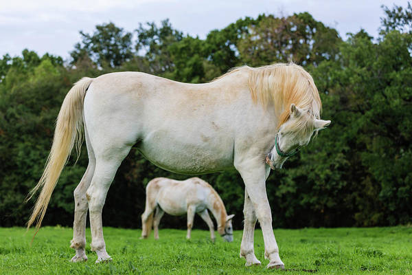 Mare Photograph - Lipizzaner Horses Grazing In Grassy by Pixelchrome Inc