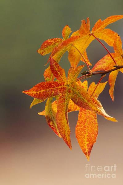 Photograph - Liquidambar Leaves by Ron Sanford