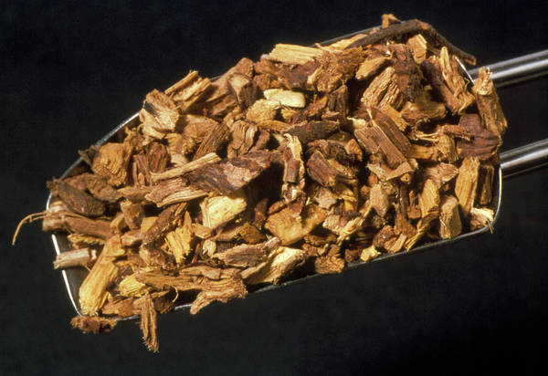 Medicinal Photograph - Liquorice Root by Th Foto-werbung/science Photo Library