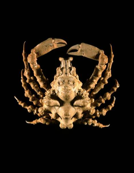 Chela Wall Art - Photograph - Lissa Ciragra Crab by Science Photo Library