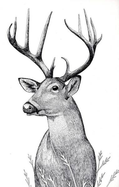 Whitetail Drawing - Listen by Eddy Chance