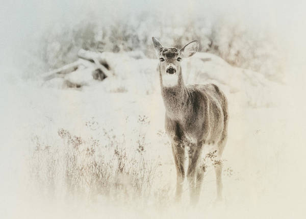 Whitetail Deer Wall Art - Photograph - Listen by Susan Capuano