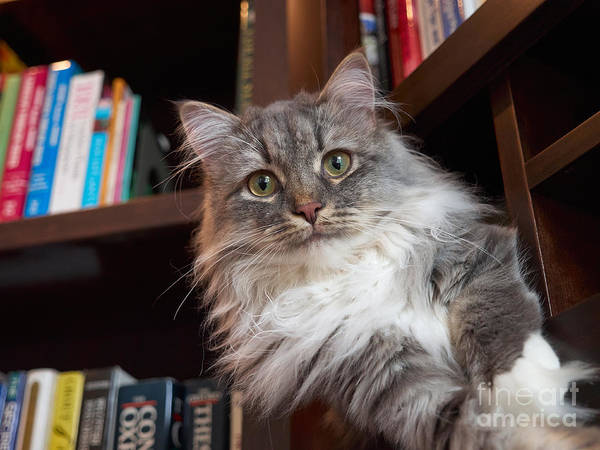 Long Hair Cat Photograph - Literary Cat by Louise Heusinkveld