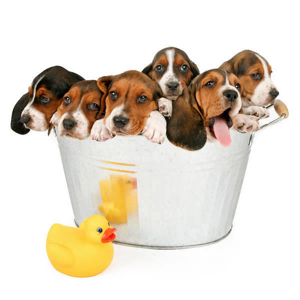 Puppies Photograph - Litter Of Puppies In A Bathtub by Susan Schmitz