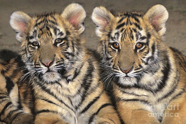 Photograph - Little Angels Bengal Tigers Endangered Wildlife Rescue by Dave Welling