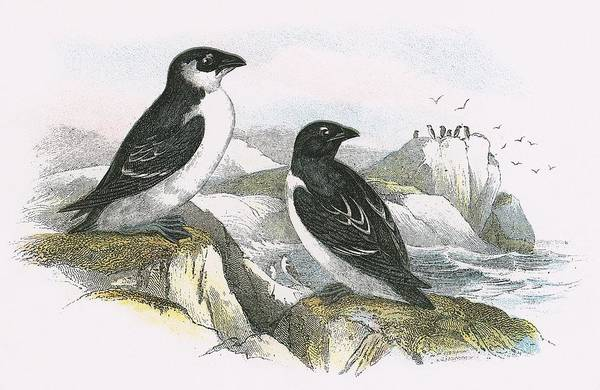 Ornithology Photograph - Little Auk by English School