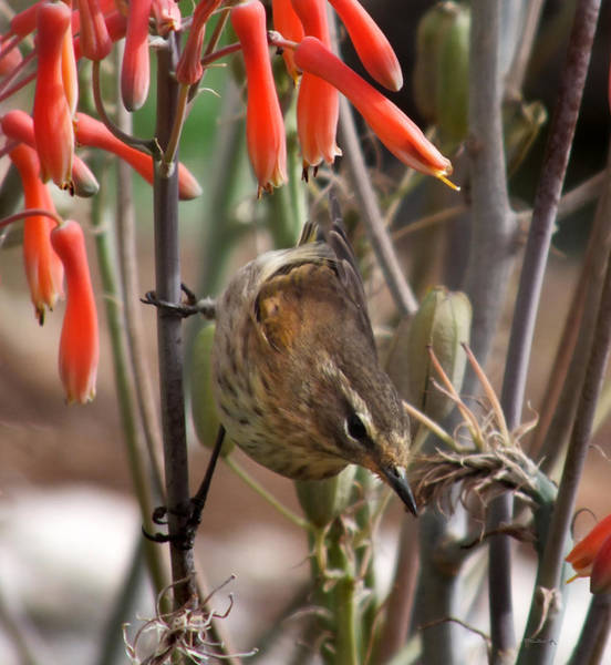 Photograph - Little Bird On The Honeysuckles by Duane McCullough