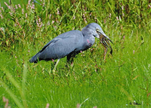 Photograph - Little Blue Heron And A Frog by Dan Williams