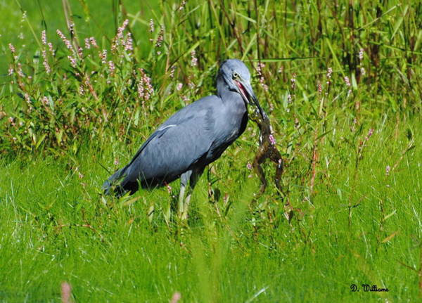 Photograph - Little Blue Heron At Lunch by Dan Williams