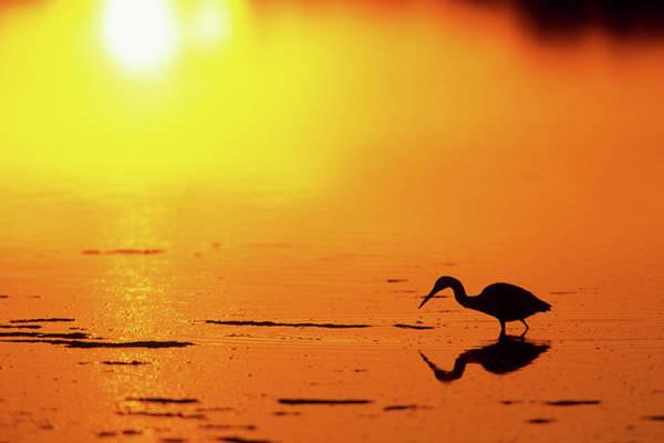 Ding Photograph - Little Blue Heron (egretta Caerulea by Richard and Susan Day