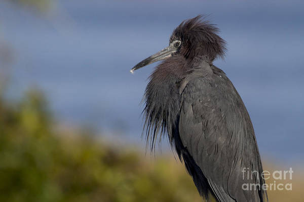 Photograph - Little Blue Heron by Meg Rousher