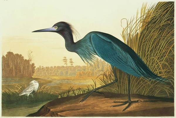 Little Blue Heron Photograph - Little Blue Heron by Natural History Museum, London/science Photo Library