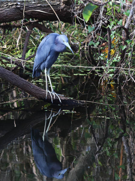 Photograph - Little Blue Heron Reflection by Jean Clark