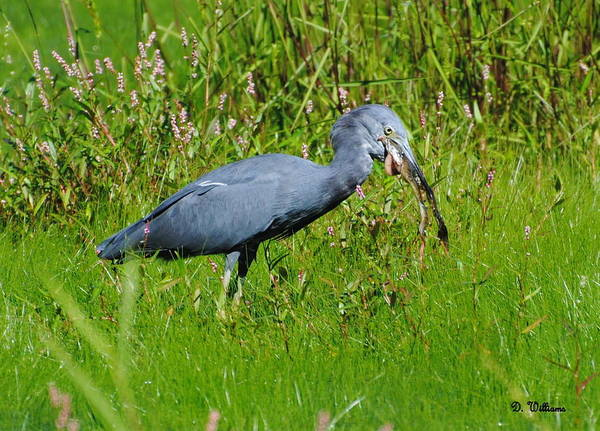 Photograph - Little Blue Heron Trying To Swallow A Frog by Dan Williams