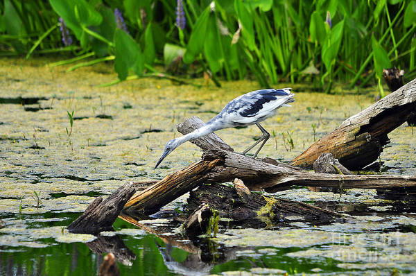 Little Blue Heron Photograph - Little Blue Looky Loo by Al Powell Photography USA