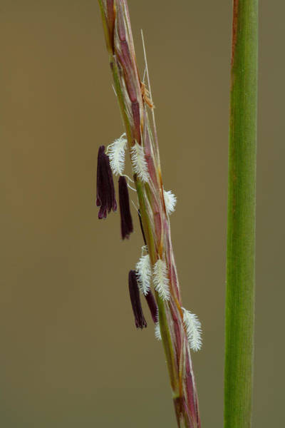 Photograph - Little Bluestem Grass Flowers by Daniel Reed