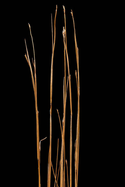 Wall Art - Photograph - Little Bluestem Grass by Steve Gadomski