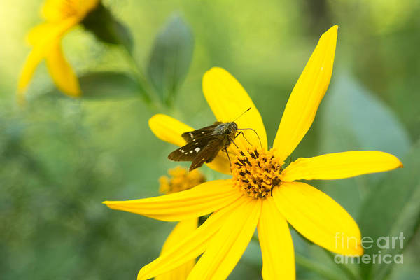 Jerusalem Artichoke Photograph - Little Butterfly On Bright Yellow Flower by Beverly Claire Kaiya