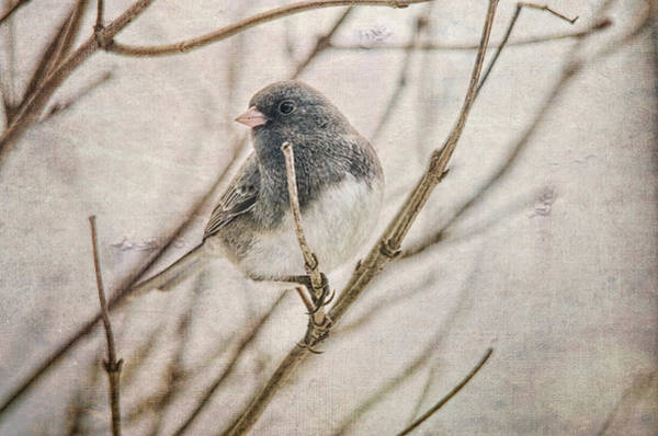Wall Art - Photograph - Little Dark-eyed Junco by Susan Capuano