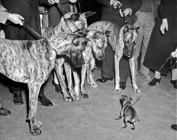 Afraid Photograph - Little Dog Meets Big Dogs by Underwood Archives