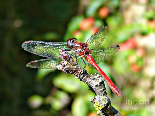 Photograph - Little Dragonfly by Morag Bates