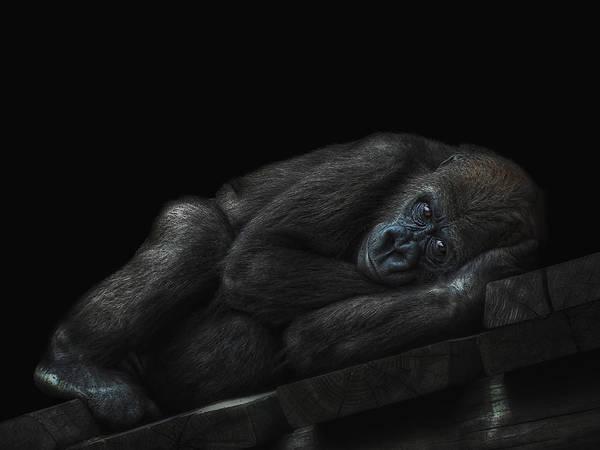 Monkey Wall Art - Photograph - Little Dreamer by Joachim G Pinkawa