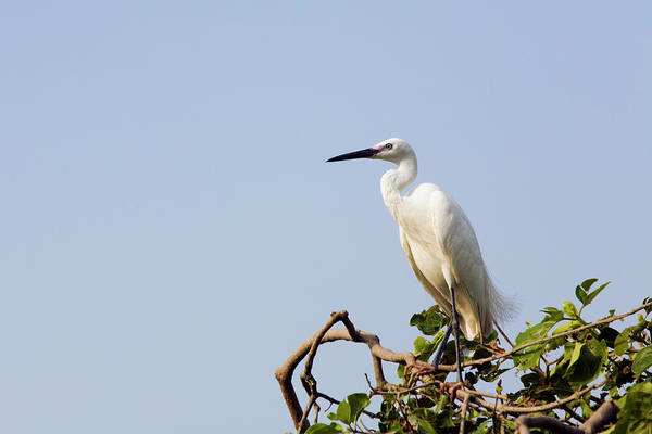 Little People Photograph - Little Egret Ergetta Garzetta At Vuong by Anders Blomqvist