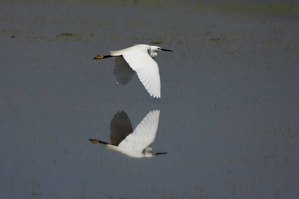Photograph - Little Egret In Flight by Tony Mills