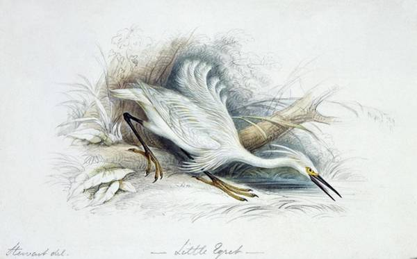 Wall Art - Photograph - Little Egret by Natural History Museum, London/science Photo Library
