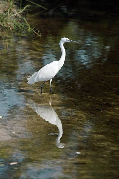 Wall Art - Photograph - Little Egret Wading In A Pool by Dr P. Marazzi/science Photo Library