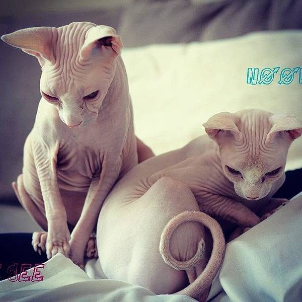 Charity Wall Art - Photograph - Little Gee And Noonoo #sphynx by Samantha Charity Hall