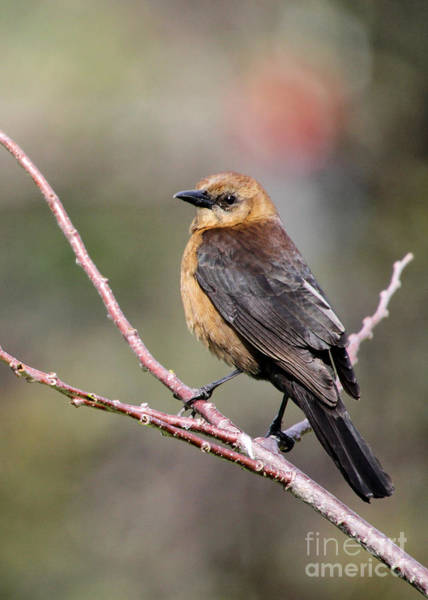 Photograph - Little Grackle In A Big World by Sabrina L Ryan