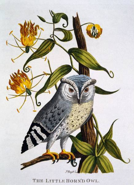 Little Horned Owl, From Indian Zoology Art Print
