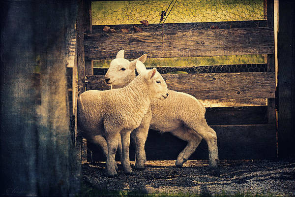 Ovine Photograph - Little Lambs Playing Together I by Maria Angelica Maira