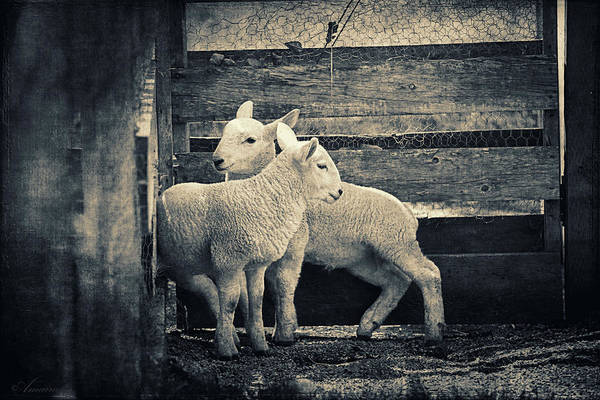 Ovine Photograph - Little Lambs Playing Together by Maria Angelica Maira