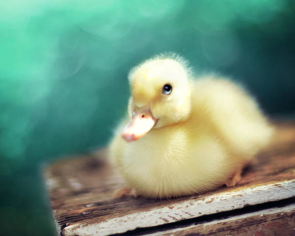 Ducks Photograph - Little Miss Sunshine by Amy Tyler