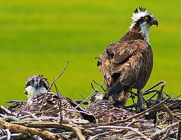 Photograph - Little Osprey by Nick Zelinsky