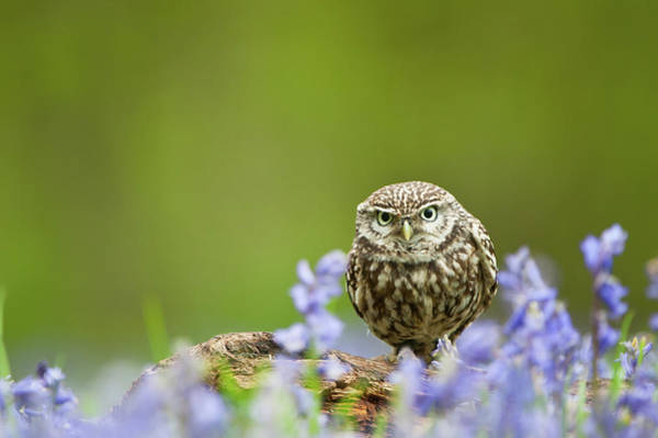 Little People Photograph - Little Owl, Athene Noctua by Mike Powles