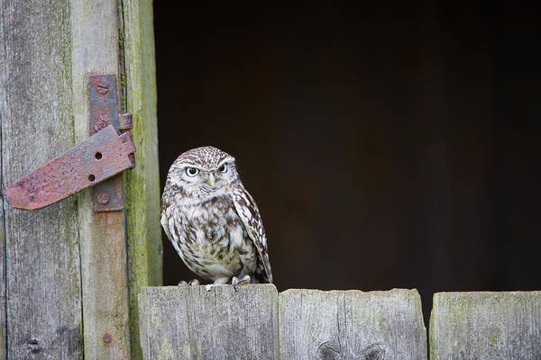 Little People Photograph - Little Owl, Athene Noctua, On Barn by Mike Powles