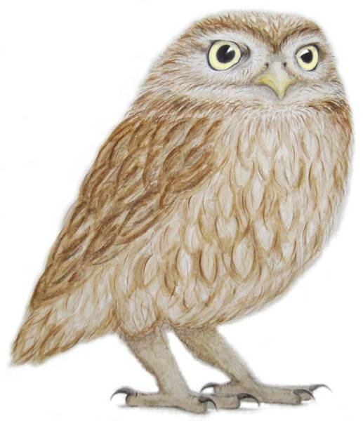Owl Painting - Little Owl by Ele Grafton
