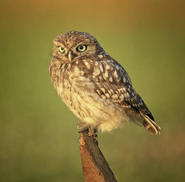 Little People Photograph - Little Owl In Early Morning Light by © Jackie Bale