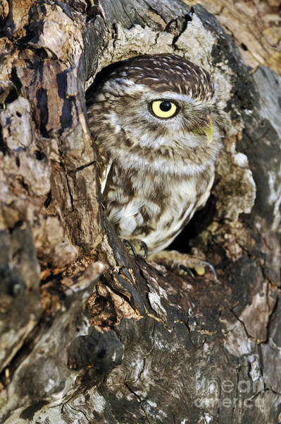 Photograph - Little Owl In Hollow Tree by Arterra Picture Library