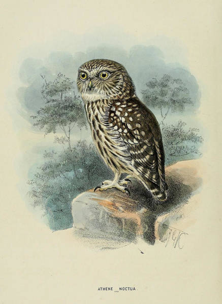 Owl Painting - Little Owl by Dreyer Wildlife Print Collections
