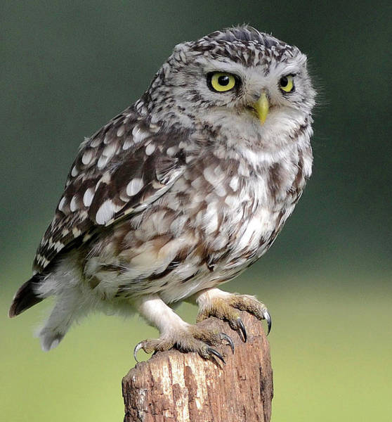 Little People Photograph - Little Owl by Morgan Stephenson