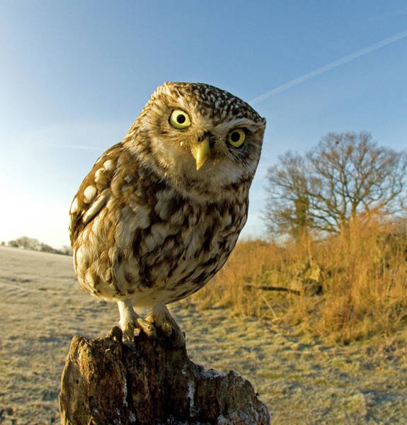 Little People Photograph - Little Owl On Post by Russell Savory