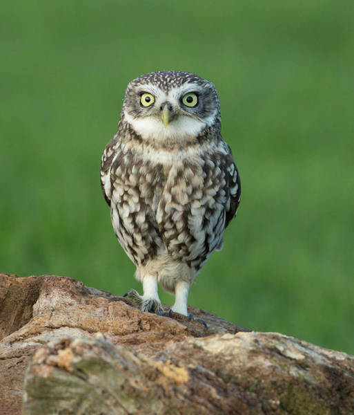 Little People Photograph - Little Owl by Steven Whitehead